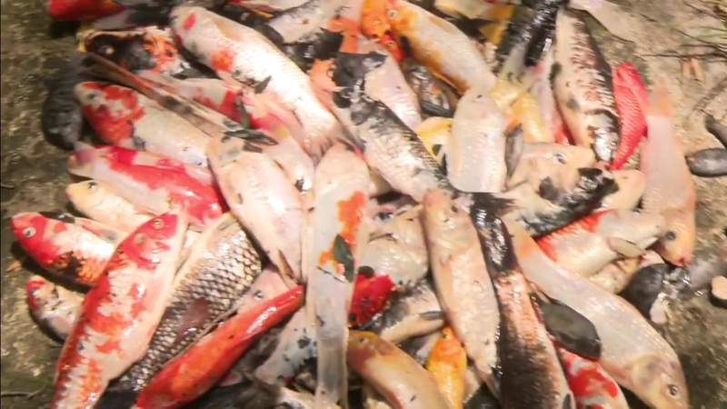 Thousands of fish turning up dead in same Coconut Grove neighborhood
