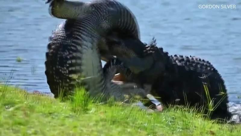 Florida man finds alligators wrestling in backyard as mating season heats up