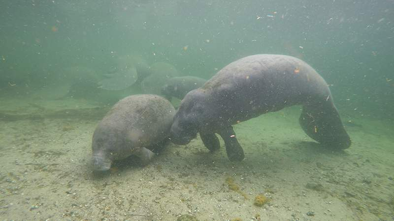 Mandy and Manilow are swimming in their natural environment for the first time since March. (Save the Manatee Club)