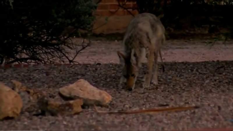 Find the coyote sightings in your Florida neighborhood