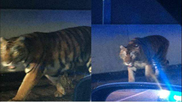 A tiger is shot and killed in a Georgia neighborhood.
