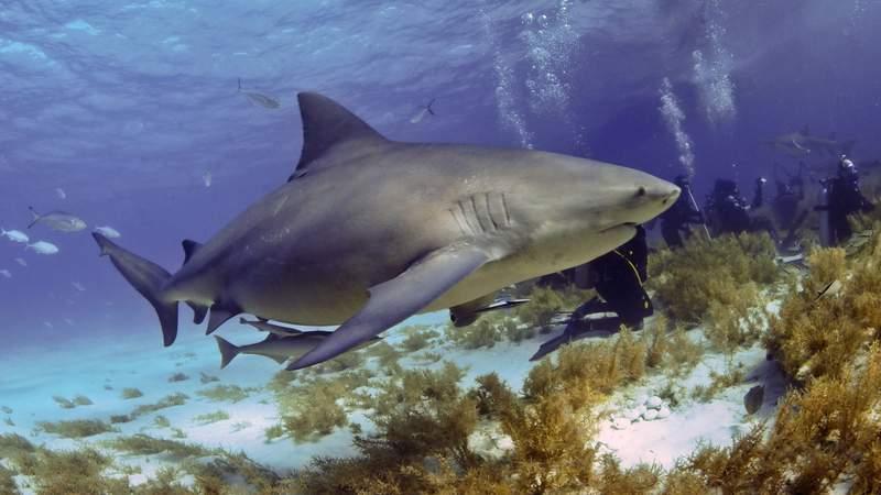 File photo of bull shark