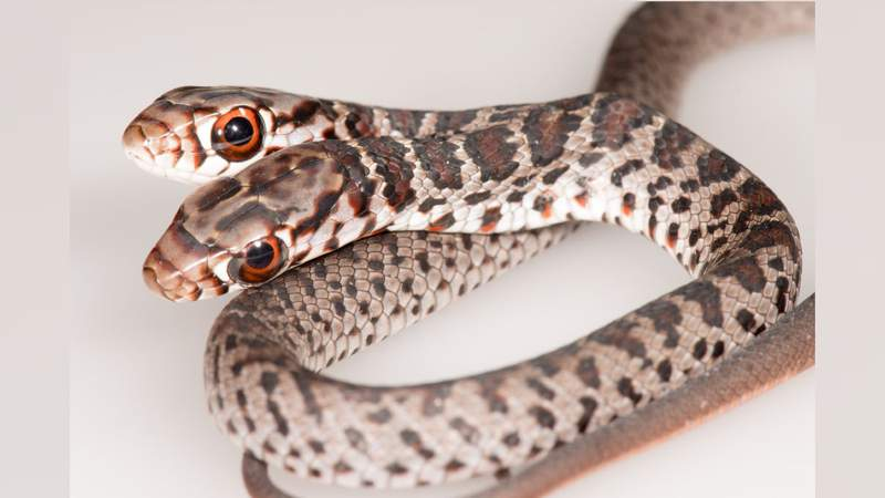A two-headed snake was found at a Florida home.