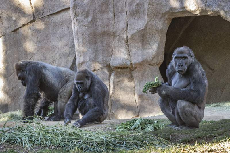 Members of the Gorilla Troop are seen in their habitat on Sunday, Jan. 10, 2021, at the San Diego Zoo Safari Park in Escondido, Calif. Several gorillas at the San Diego Zoo Safari Park have tested positive for the coronavirus in what is believed to be the first known cases among such primates in the United States and possibly the world. It appears the infection came from a member of the park's wildlife care team who also tested positive for the virus but has been asymptomatic and wore a mask at all times around the gorillas. (Ken Bohn/San Diego Zoo Safari Park via AP)