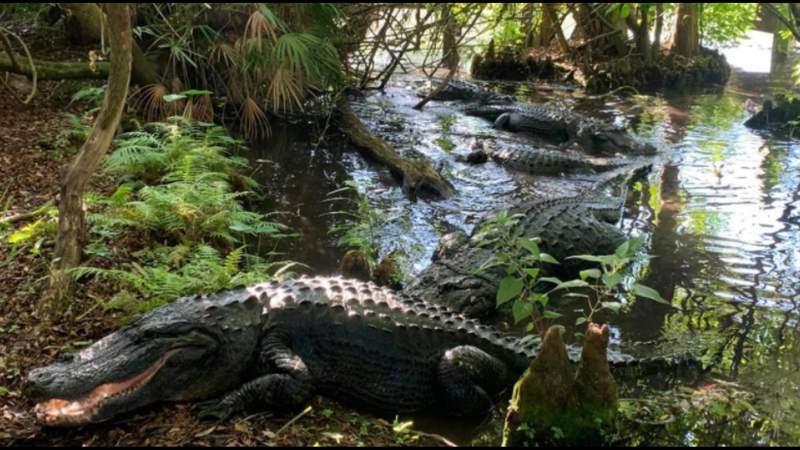 Love in the swamp: Gatorland educates public on alligator mating season