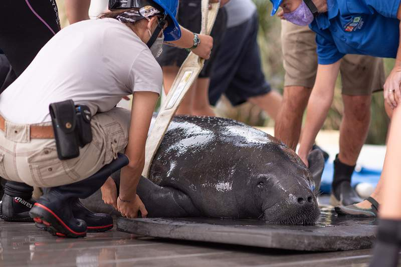 Lusia Manatee Release at the Jacksonville Zoo