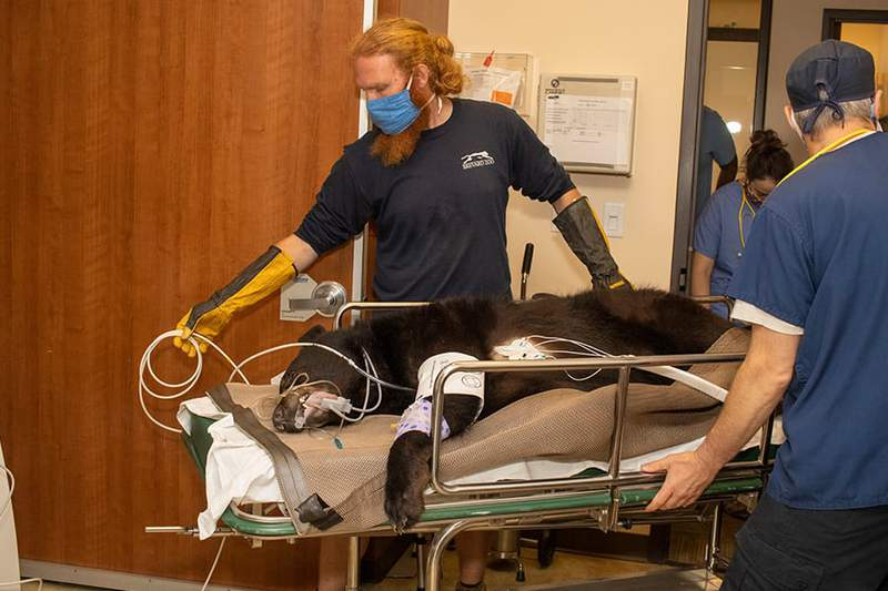 Brody going into the MRI suite at Health First. (Image: Brevard Zoo)