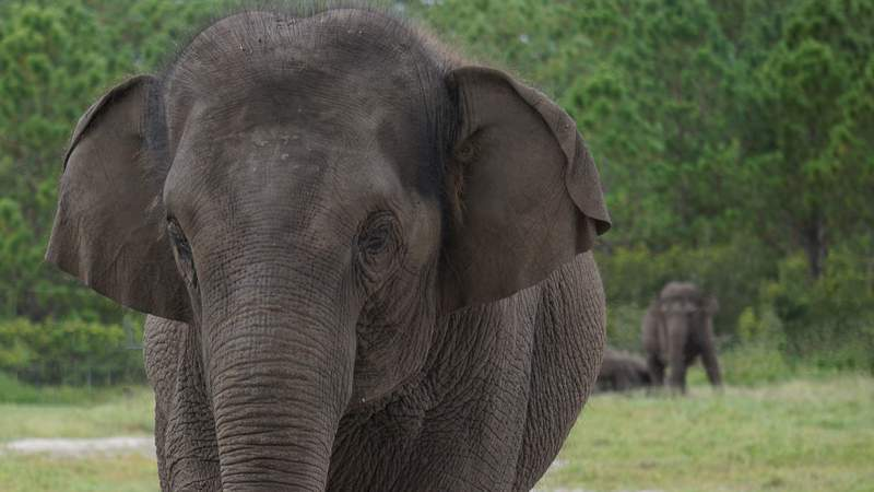 Soon 30 Asian elephants will call White Oak Conservation, a wildlife refuge nestled in Nassau County, their home.
