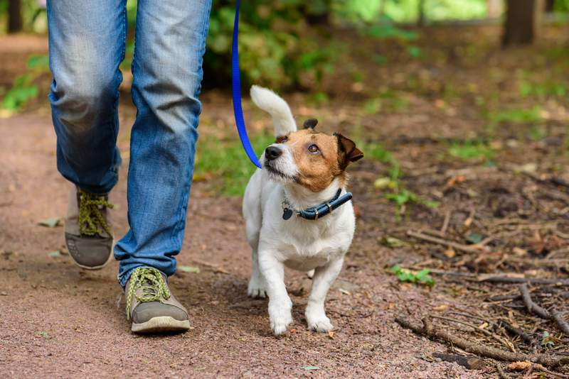 Jack Russell Terrier walking through forest by path
