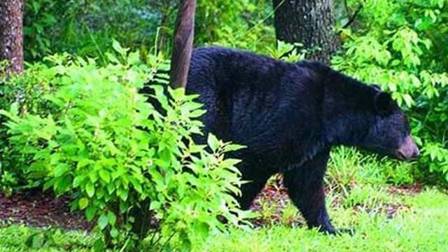 File photo of Florida black bear (Photo credit: FWC).