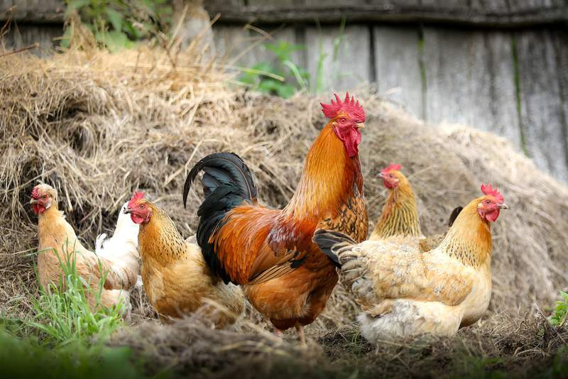 Generic image of chickens and a rooster.