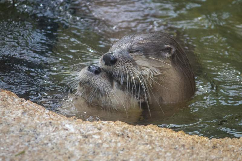 Brevard zoo staff mourns death of 2 river otters