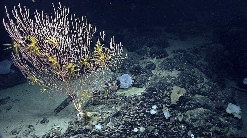 FILE - This undated file photo provided by the National Oceanic and Atmospheric Administration made during the Northeast U.S. Canyons Expedition 2013, shows corals on Mytilus Seamount off the coast of New England in the North Atlantic Ocean. The Supreme Court ruled Monday, March 22, 2021, that it will not consider a fishing group's attempt to challenge the creation of a large federally protected area in the Atlantic Ocean. The group sued to try to get rid of the Northeast Canyons and Seamounts Marine National Monument, which became the first national ocean monument in the Atlantic when President Barack Obama created it in 2016. (NOAA Office of Ocean Exploration and Research via AP, File)