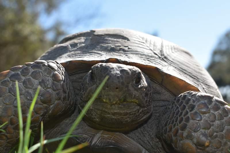 Gopher tortoise. File photo.