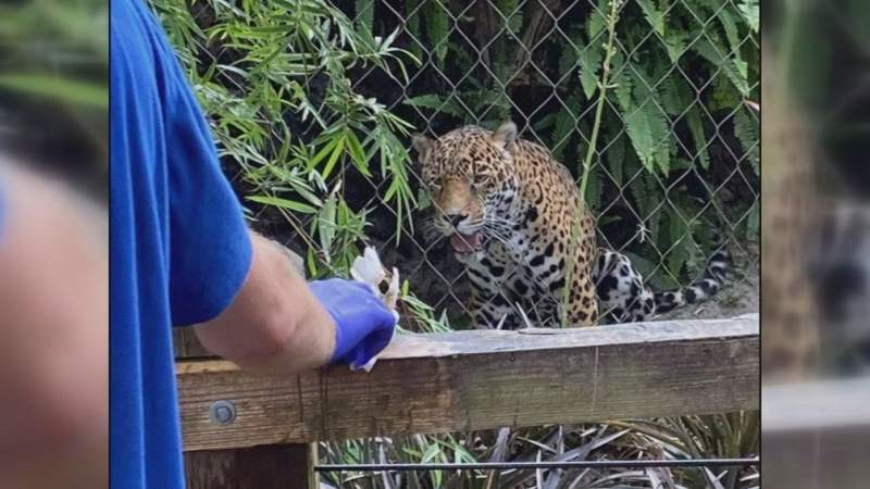 Man who stuck his hand in jaguars exhibit at Jax Zoo hospitalized
