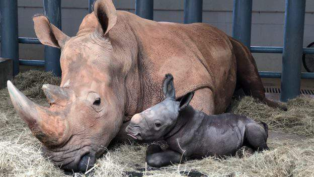 White Rhino born at Disney