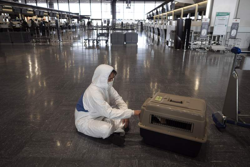 FILE - In this Thursday, April 2, 2020 file photo, a traveler wearing a hazmat suit tends to his dog in a carrier before boarding a plane at the Narita International Airport in Nairta, near Tokyo. U.S. health officials are planning to temporarily ban importation of dogs from more than 100 countries that are considered at high risk for rabies, planned to go into effect on July 14, 2021. Japan is not included in the ban. (AP Photo/Jae C. Hong, File)