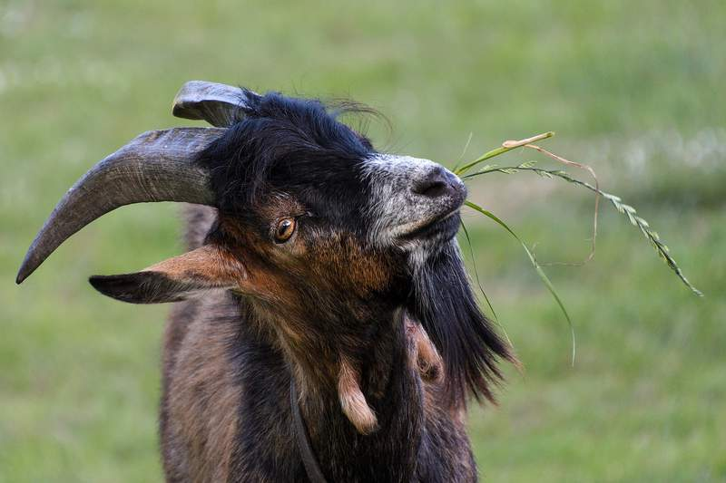 File photo of a goat eating grass.