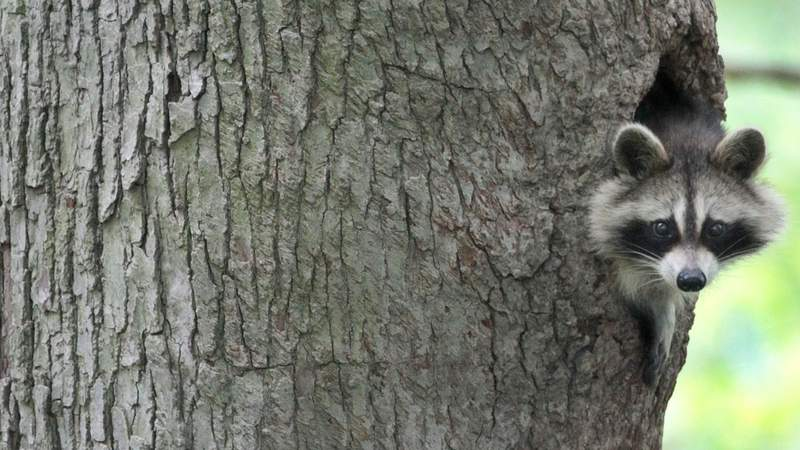 A raccoon peers out from his home in a hole in a tree in Moreland Hills, Ohio on Saturday, May. 15, 2010.