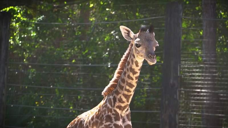 Brevard Zoo welcomes baby giraffe