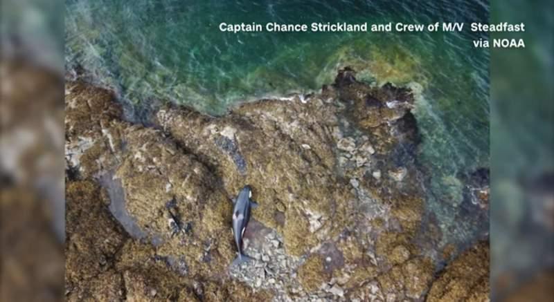 Stranded orca freed from rocky Alaskan coastline