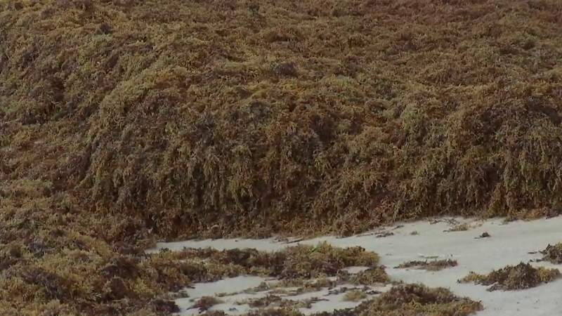 What do septic tanks have to do with a massive seaweed bloom?