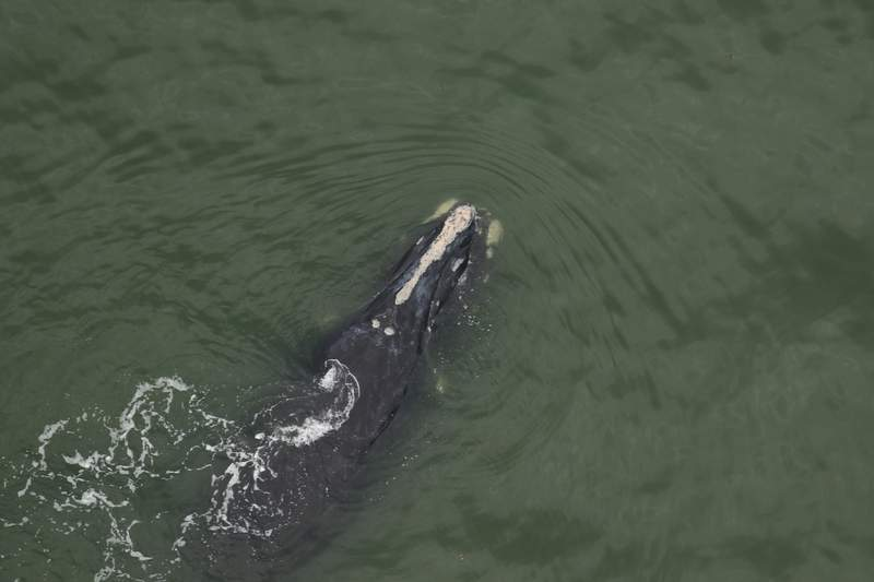 first live right whale calf of the season was spotted by biologists with CMARI off Cumberland Island, GA December 4. Mom is known right whale 'Chiminea.' Chiminea is at least 13-years-old and this is her first known calf.