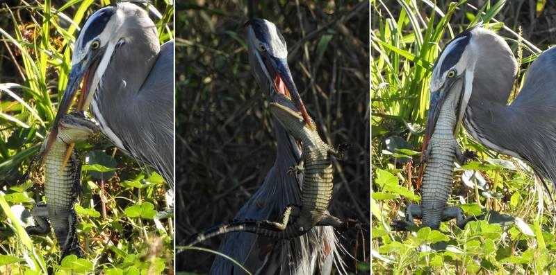 Giant Blue Heron devours juvenile alligator on Lake Apopka. (Credit: Danny Gilliam)