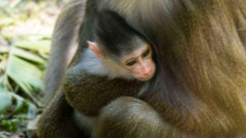 Disney's Animal Kingdom Welcomes Baby Mandrill
