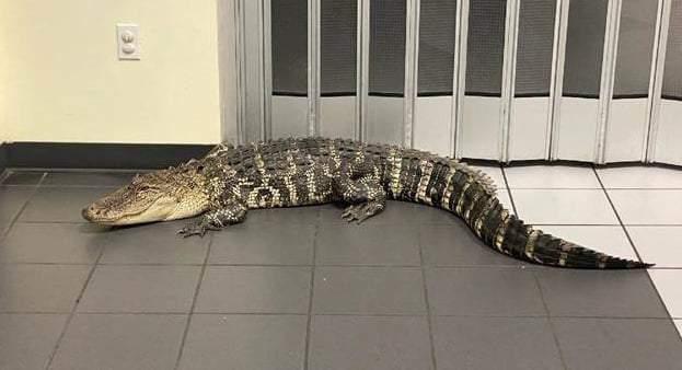 Customer finds 7-foot gator inside Florida post office (Hernando County Sheriff's Office)