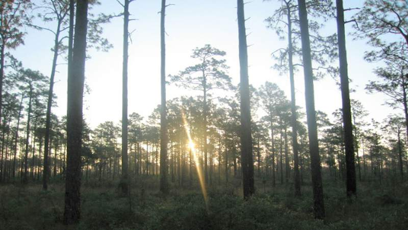 The sunrise through longleaf pines at the Ocala National Forest. (Photo: U.S. Forest Service)
