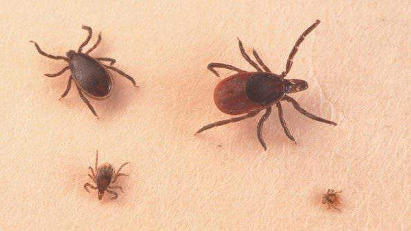 What is Lyme disease? What ticks carry it; how to protect ...