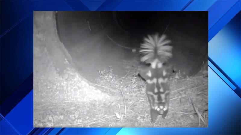 Florida Skunk caught on camera