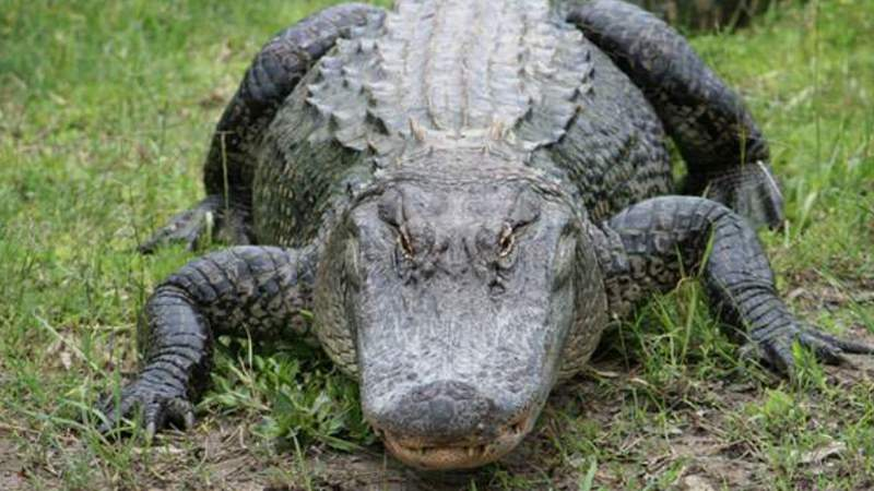 A Florida alligator
