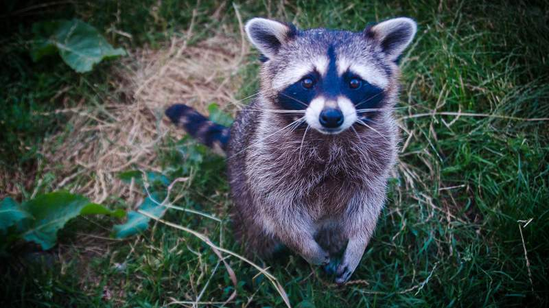 This is not the rabid raccoon in question, rather a generic picture of a raccoon.