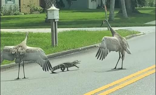 Cranes chase baby alligator across street (Mallery Neptune)
