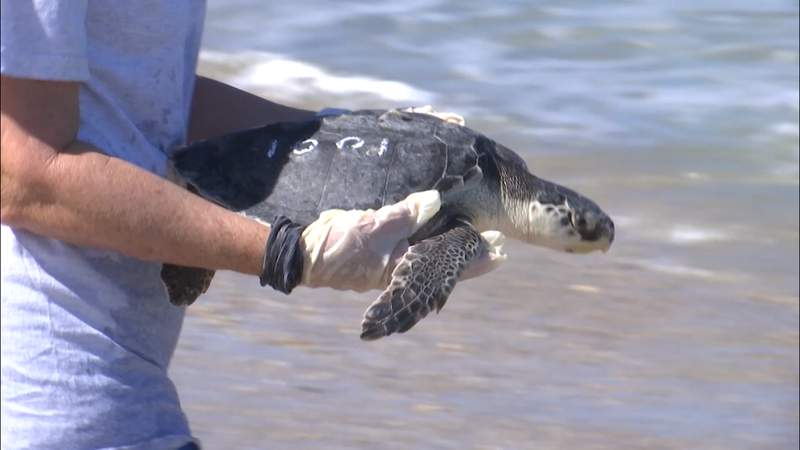 37 rescued, rehabbed sea turtles released at Canaveral National Seashore