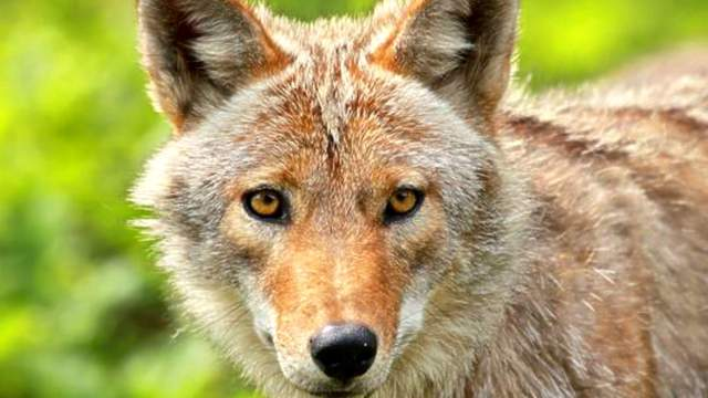 The Florida Fish and Wildlife Conservation Commission estimates that adult coyotes can patrol home ranges of up to 12,000 acres.(Photo: Getty Images/iStockphoto)