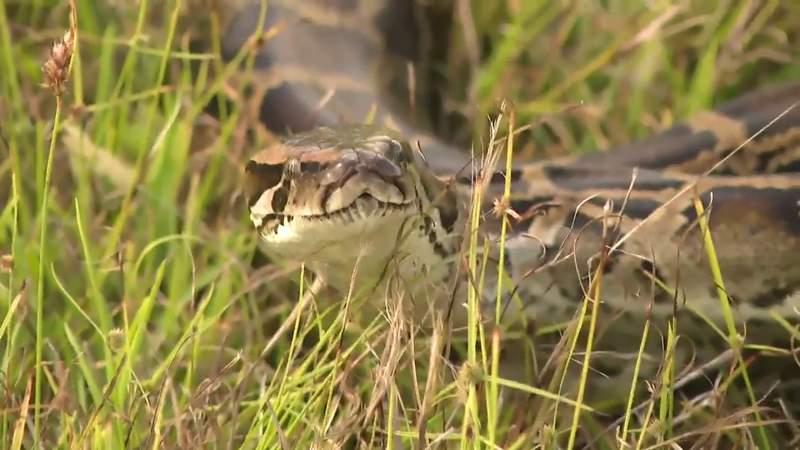 Python Bowl kicks off Friday in Florida Everglades