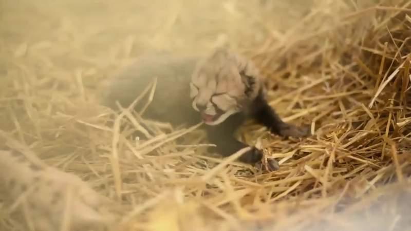 2 cheetah cubs at Columbus Zoo just made history
