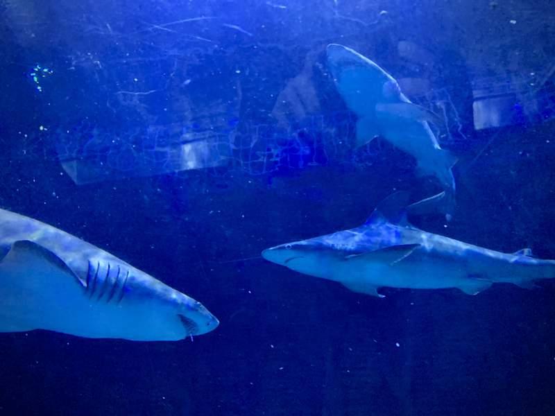 Sharks at Shark Encounter at SeaWorld Orlando