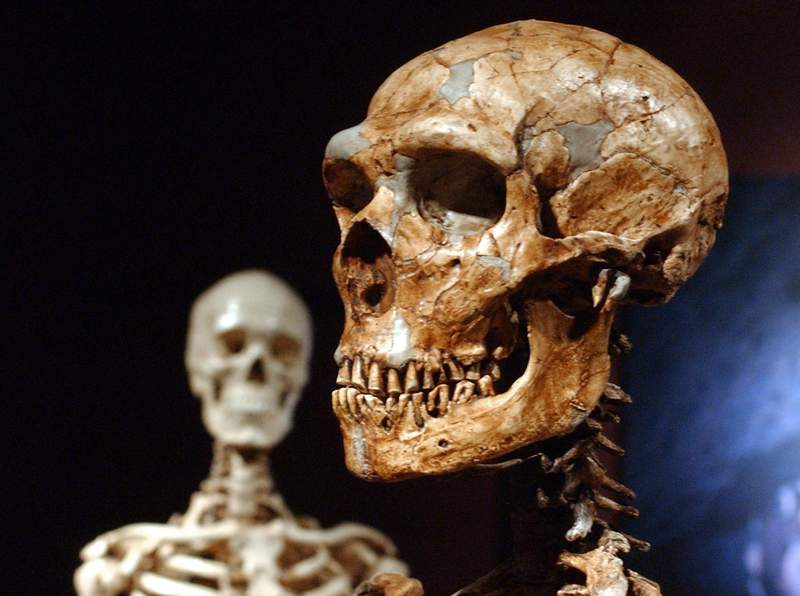 FILE - This Wednesday, Jan. 8, 2003 file photo shows a reconstructed Neanderthal skeleton, right, and a modern human skeleton on display at the Museum of Natural History in New York. According to a study published Friday, July 16, 2021 in the journal Science Advances, just 7% of our genome is uniquely shared with other humans, and not shared by other early ancestors. (AP Photo/Frank Franklin II)