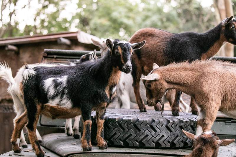 Disney's Animal Kingdom Theme Park guests encounter a brand-new experience aboard Kilimanjaro Safaris as they wrap up their journey through the Harambe Wildlife Reserve. The park welcomes a brand new species – Nigerian Dwarf Goats.