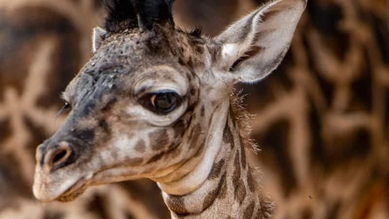 New baby giraffe born at Disney's Animal Kingdom