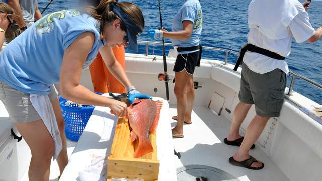 Stephanie Freed vents a red snapper. Photo taken on an FWC tagging day, off the coast of Panama City.