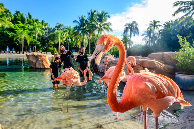 """Discovery Cove Struts Out Flamboyant """"Flamingo Mingle."""" Guests can safely walk and interact with flamingos in new, exclusive limited-capacity animal encounter"""