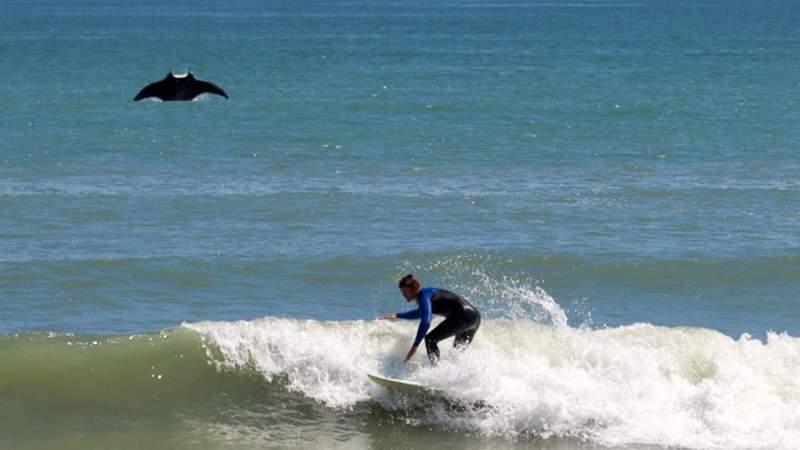 A manta ray photobombed a surfer at Satellite Beach on March 14, 2021.