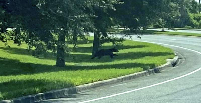 An alert is issued after a bear is spotted at UCF.