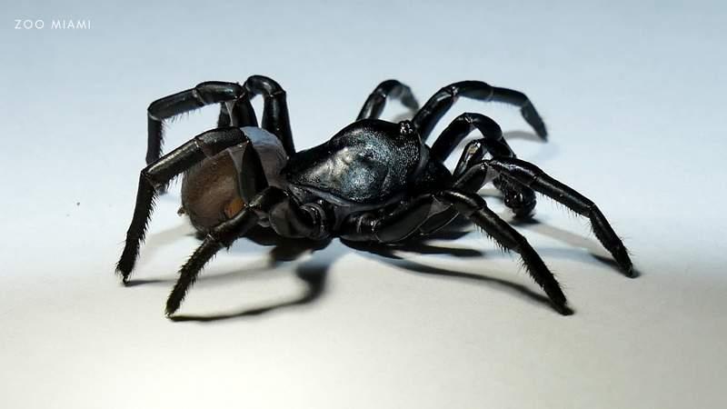 The Pine Rockland Trapdoor Spider