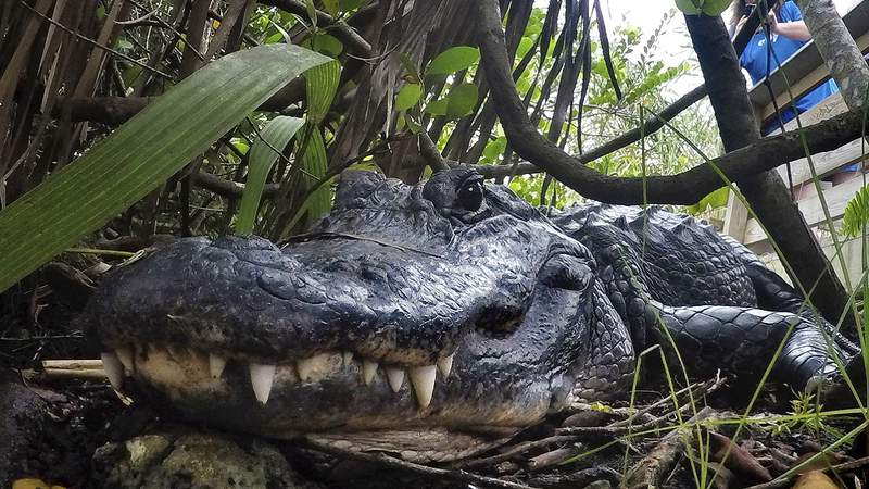 FILE - In this Friday, Oct. 18, 2019 file photo, an alligator rests in Everglades National Park, near Flamingo, Fla. (AP Photo/Robert F. Bukaty, File)